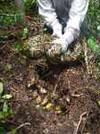 A female Burmese python (Python molurus) on her nest with eggs. Photo by Jemeema Carrigan, University of Florida. Courtesy of Skip Snow, National Park Service. Used with permission.