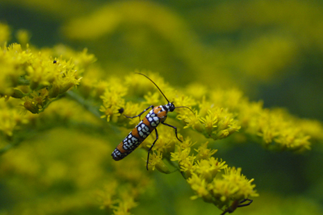 Click to view larger: Ailanthus webworm  moth on Goldenrod flowers