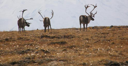 The Other 364 Days of the Year: The Real Lives of Wild Reindeer