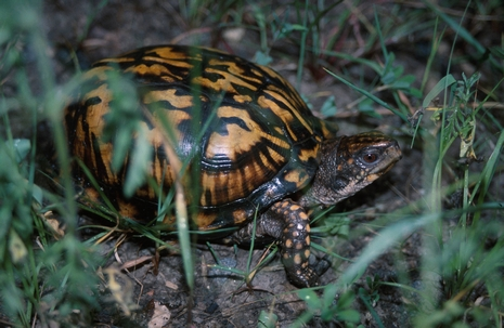 Click to view larger: Eastern Box Turtle (Terrapene carolina)