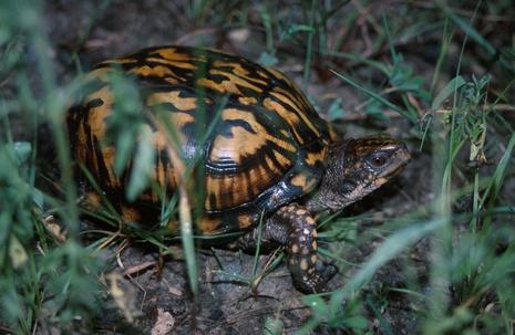 Click to view larger: Eastern Box Turtle (Terrapene carolina)