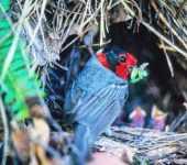 A Hermit Thrush on the Nest in Arizona