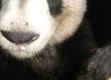 Homepage tab: Wild panda in China 125x90