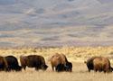 Homepage tab: Colorado Bison group 125x90