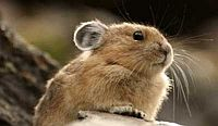 American pika. [Photo: NOAA Earth Systems Research Laboratory]