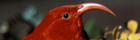 I'iwi, Hawaiian Honeycreeper