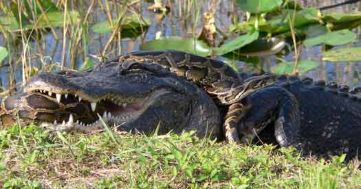 An American alligator and a Burmese python locked in a struggle to prevail in Everglades National Park. [Photo: Lori Oberhofer, National Park Service ]