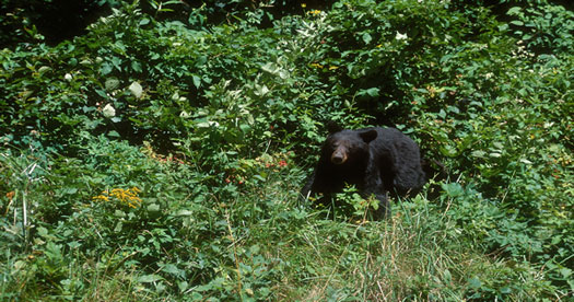 American black bear (Ursus americanus) in a forest. [Photo: John J. Mosesso, NBII Library of Images From the Environment]