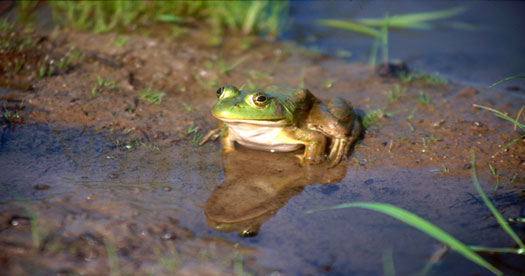 American Bullfrog (Rana catesbeiana)in pond. [Photo: John J. Mosesso, NBII Library of Images From the Environment]