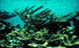 Acropora palmata thicket on Mona Island, Puerto Rico. Andy Bruckner, 1996