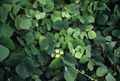 Thumbnail image of Kudzu (Pueraria montana var. lobata).   [Image modified from NBII Library of Images from the Environment photo by John J. Mosesso]
