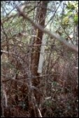 Fig. 3. Tree pipe in shrub wetland - click to enlarge