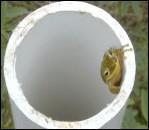 Fig. 7. Hyla squirella, Squirrel Treefrog - click to enlarge