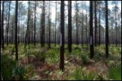 Fig. 1. Pipe array in pine flatwoods - click to enlarge