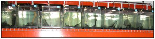 Lab aquaria w/ artificial refuges - click to enlarge