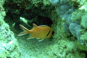 NOAA image of Blackbar Soldier fish in La Parguera, Puerto Rico, which was taken from the NOAA Coral Reef Ecosystem Database.