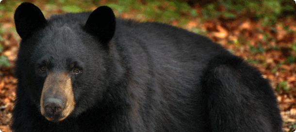 Bear Conservation