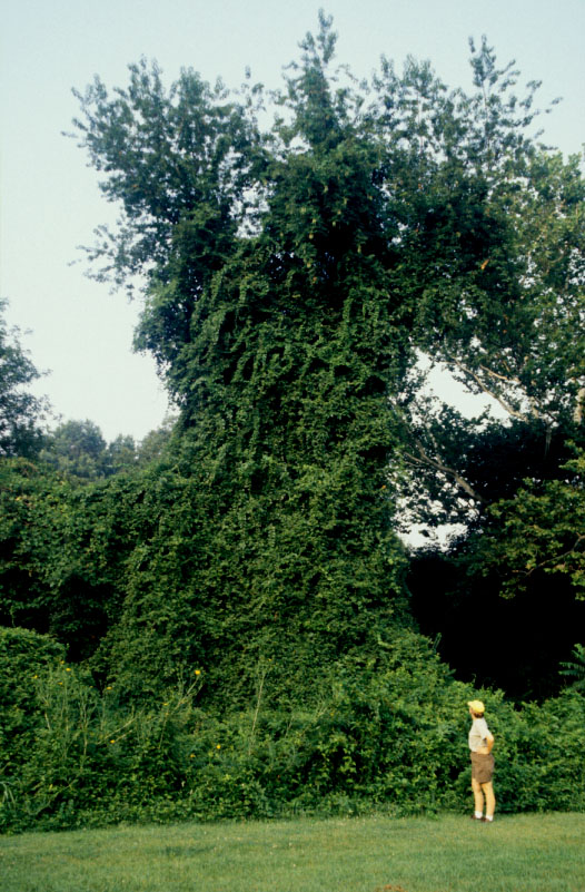 image of a tree covered with porcelainberry