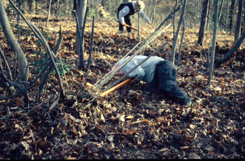 image of a volunteer using a weed wrench to uproot an invasive shrub