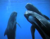 Long-finned Pilot Whale (Globicephala melas). Photo © Tethys - D. Paulmann.
