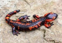 Common fire salamander (salamandra salamandra). Photo © Roberto Sindaco.