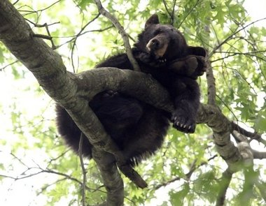 Black-Bear-Metuchen-NJ-June-2011.JPG