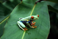 Red-eyed Tree Frog in a tree