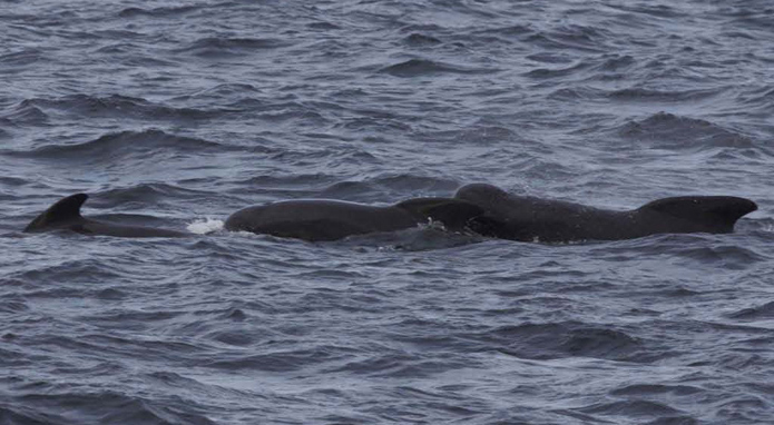 Pilot whales photographed off the stern of the Delaware II during plankton operations included a mother and calf. Photo by Chris Melrose, NEFSC/NOAA