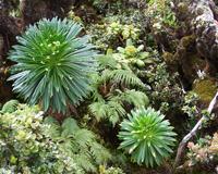 Understory of a native Hawaiian wet forest, Puu Kukui, Maui.