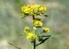 Leafy Spurge, USDA APHIS