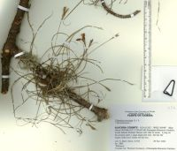 Ballmoss specimen from the University of Florida Herbarium Digital Imaging Project