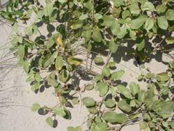 Gulf Croton, Beach tea