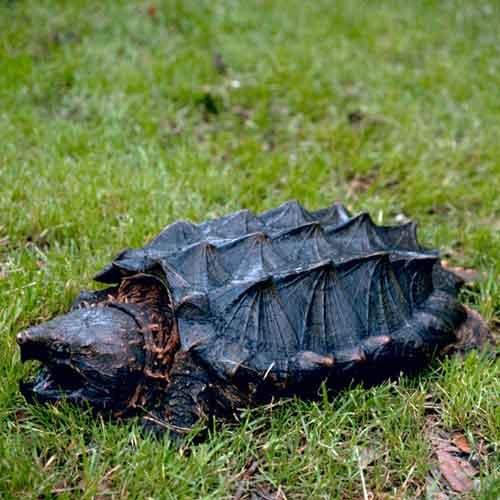 Alligator Snapping Turtle (Macrochelys temminckii). [Photo: Gary M. Stolz, USFWS]