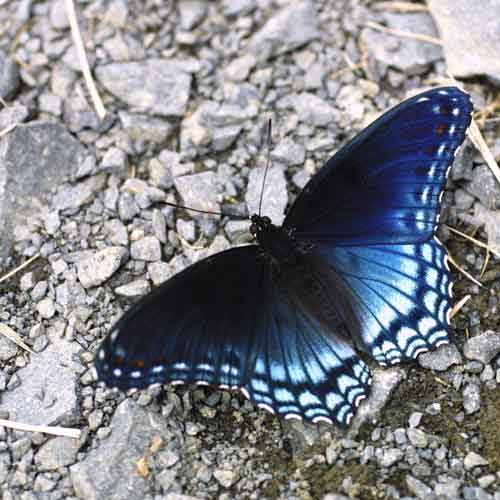 Lepidopteran species [Photo: Elizabeth Sellers, NBII Library of Images from the Environment]