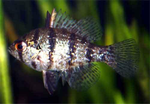Blackbanded Sunfish (Enneacanthus chaetodon) [Photo: Wayne Davis, USEPA,  http://www.epa.gov/bioiweb1/html/photos_fish_freshwater_sunfishes.html]