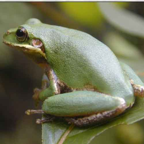 Squirrel Treefrog [Photo: Southeast Ecological Science Center, USGS]
