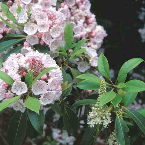 Mountain laurel (Kalmia latifolia) and fly poison, (Amianthium muscitoxicum) blooms.  [Photo: John F. Mitchell, USNPS]