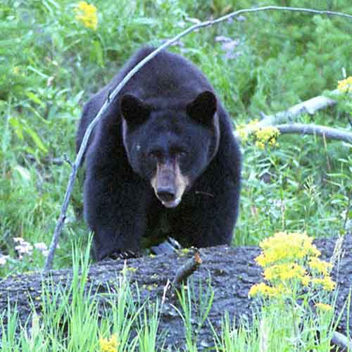Black bear (Ursus americanus) [Photo: Terry Spivey, USFWS]