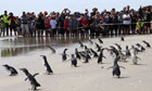 Penguins released after Rena oil spill in New Zealand