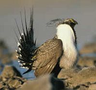 Greater sage grouse [Photo: U.S. Fish and Wildlife Service]