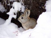 Pygmy Rabbit in snow.