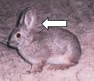 Pygmy rabbit with ears highlighted