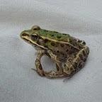Northern leopard frog (Rana pipiens) with polymelia (extra limb).