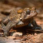 Photo of an American toad (Bufo americanus)