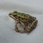 Northern leopard frog (Rana pipiens) with polymelia (extra limb).