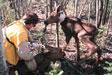 fitting moose calf with radio collar