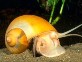 Golden apple snail (Pomacea sp.) Photo: Rita T. dela Cruz.