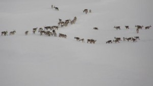 A herd of caribou standing on a hillside of snow