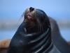 California Sea Lion - John J. Mosesso