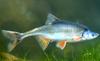 Humpback Chub - George Andrejko - Arizona Fish and Game
